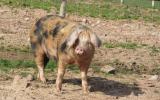 Rearing Pigs for Meat course with Liz Shankland at Kate Humble's farm Humble by Nature