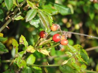 Rosehips on the Autumn food foraging course at Kate Humble's farm Humble By Nature